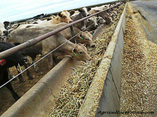 Cattle in feedlot eating corn