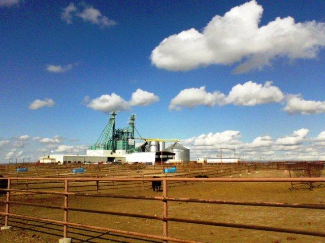 texas cattle feedlot