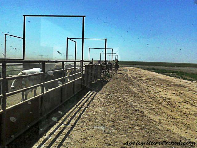 environmental impacts of cattle feedlots