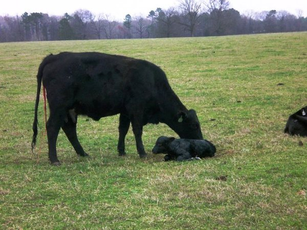 Calving Season – What works for your operation?
