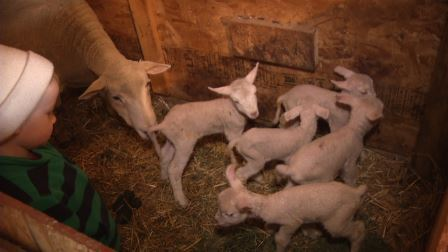 Eeny, meeny, miny, moe – Farmers find newborns in sets of 3, 4 and even 5