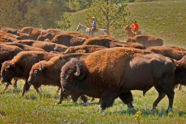 Podcast 018 – Bison Ranching with National Bison Association