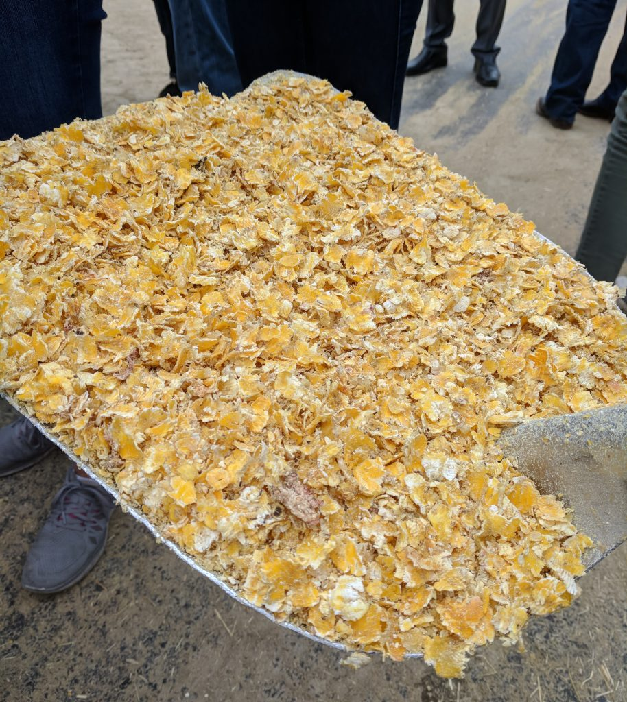 cattle feedlot corn flakes