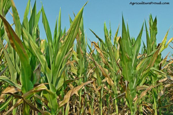 Ask A Farmer: Does feeding cattle corn harm them?