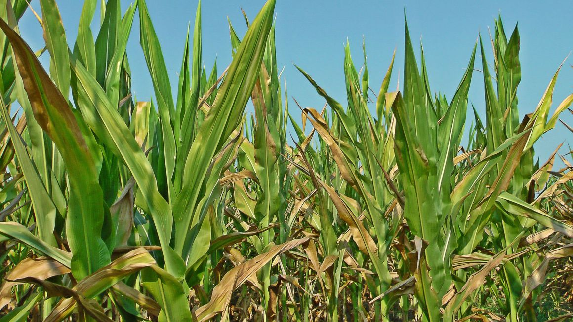 Does feeding cattle corn harm them? | Ask a Farmer