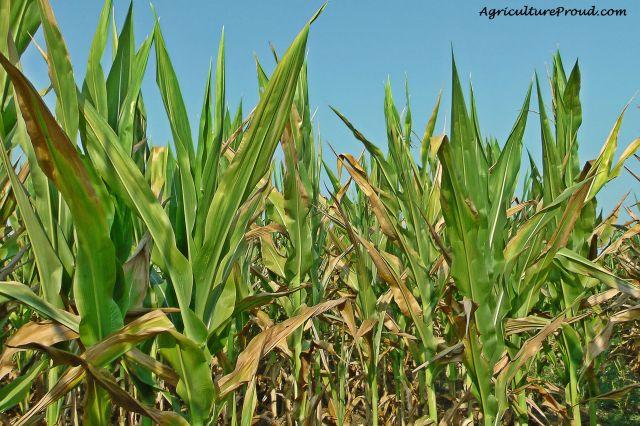 Does feeding cattle corn harm them? Ask a Farmer