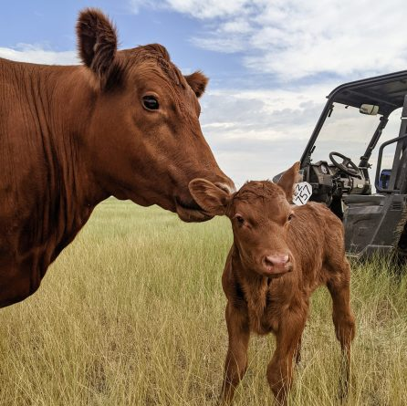 how many calves can a cow have