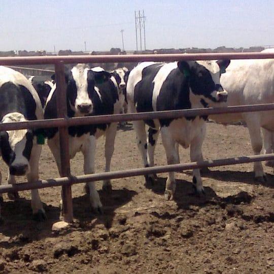 holstein steers in cattle feedlot