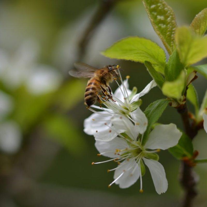Biene balanciert auf Kirschblüte