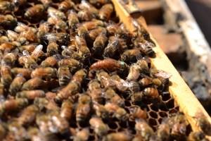 Bienenkönigin mit Hofstaat auf Rähmchen