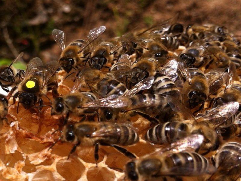 Bienenkönigin mit gelben Punkt läuft auf Wabe