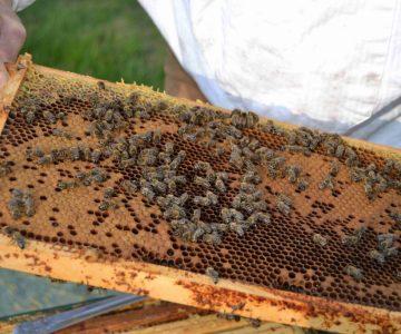 Bienenwabe mit Brut