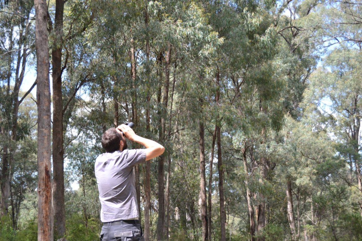 Ein australischer Imker schaut mit dem Fernglas Eukalyptusbäume an