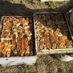 Ein mit Honig überfülltes Bienenvolk