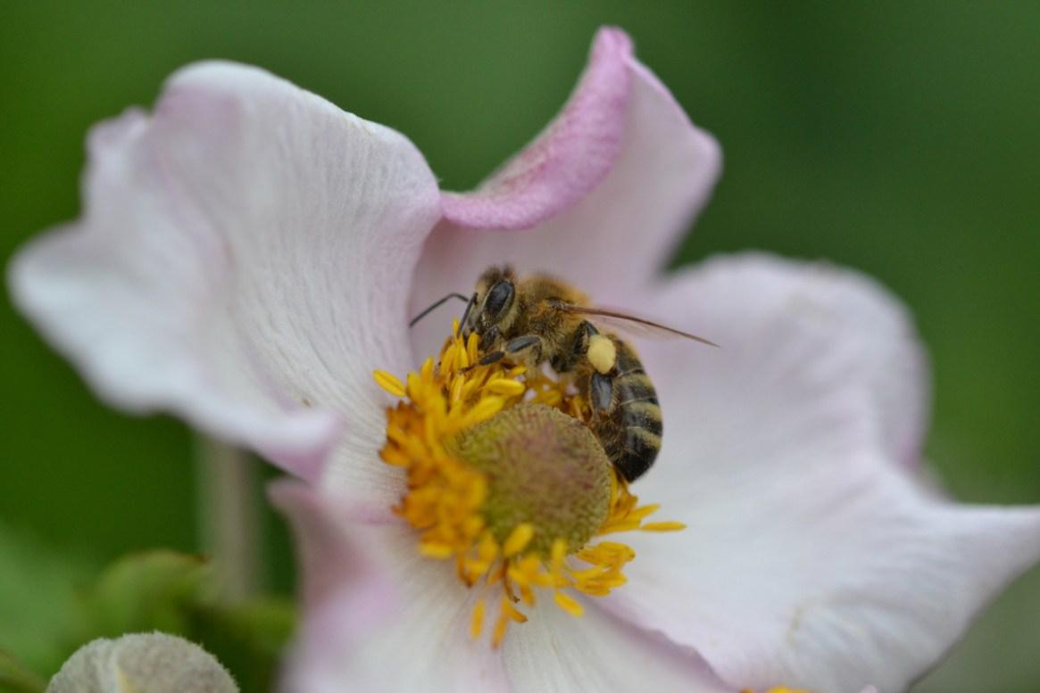 Honigbiene auf rosa Pflanze