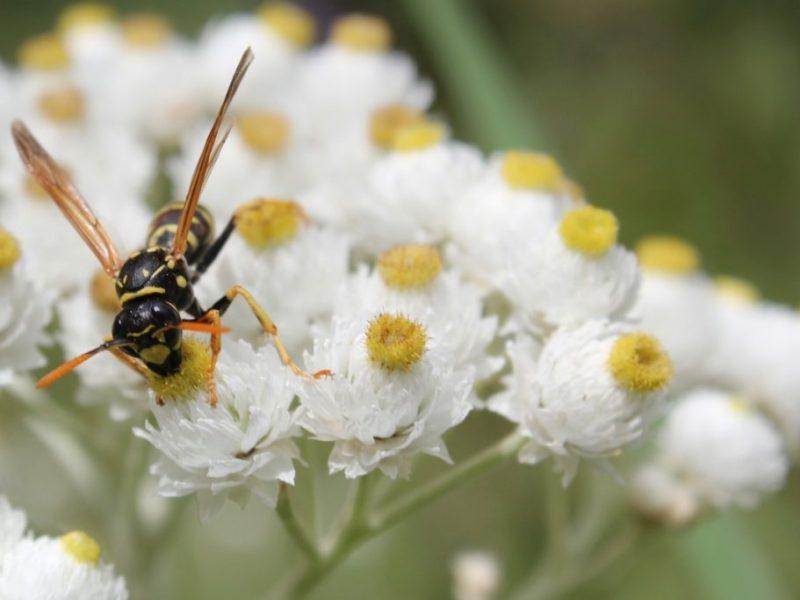 Sächsische Wespe sammelt Nektar