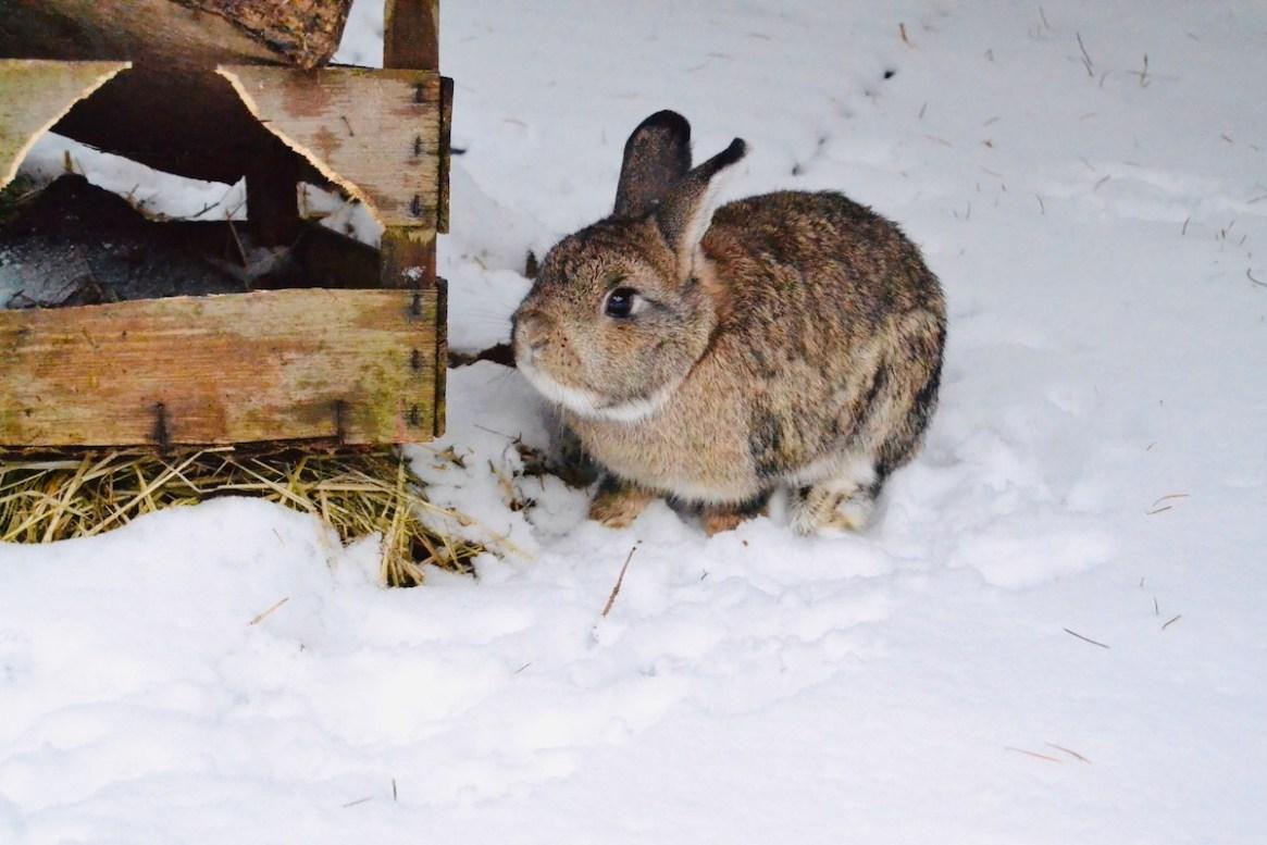 Ein Kaninchen im Schnee wartet auf den Frühling