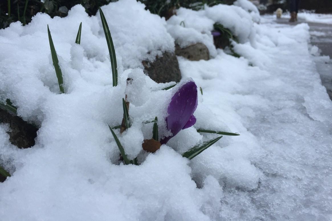 Ein Krukus blickt unter der Schneedecke hervor