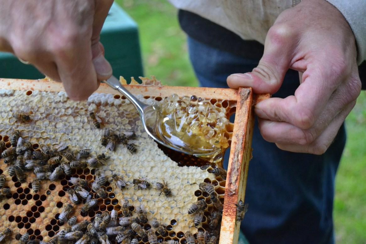 Eine Futterkranzprobe wird von einer Bienenwabe entnommen