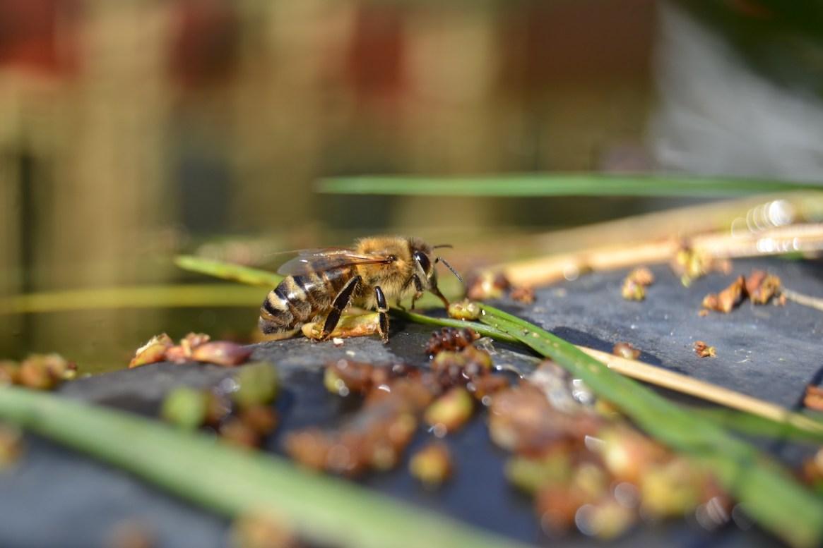 Eine Honigbiene nimmt Wasser auf