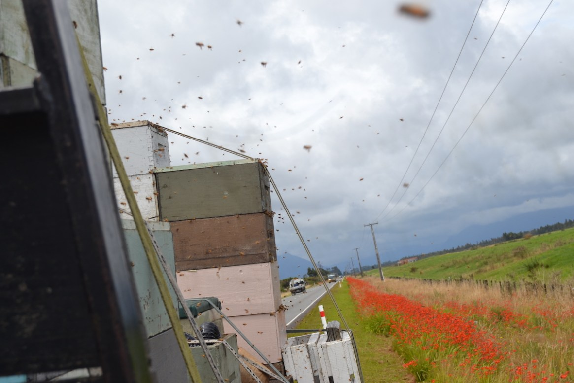 Honigbienen räubern an Honigzargen auf einem LKW