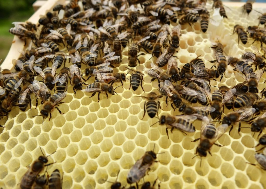 Im August des Bienenjahres wird weniger Brut erzeugt