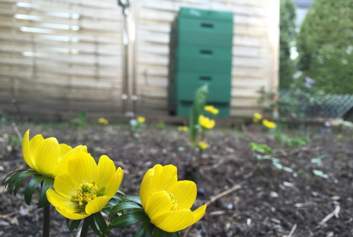 Winterling blüht vor einer Bienenbeute