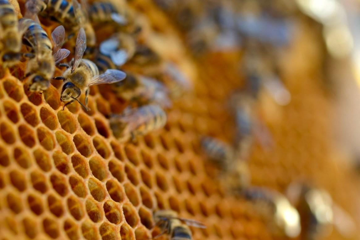 Honigbiene auf einer senkrechten Wabe