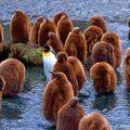 Pingouins, Géorgie du Sud-et-les Îles Sandwich du Sud