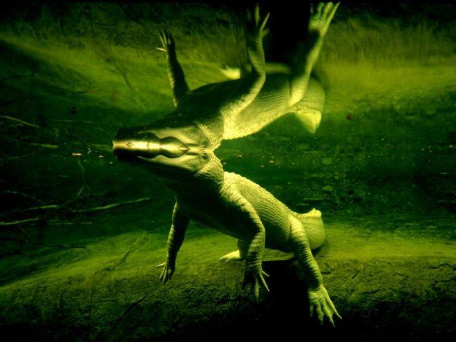 White Alligator by Joel artore
