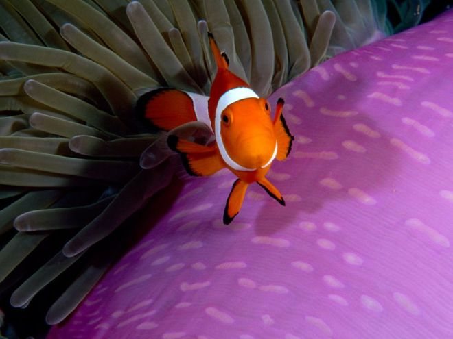 Anemonefish by Paul Sutherland