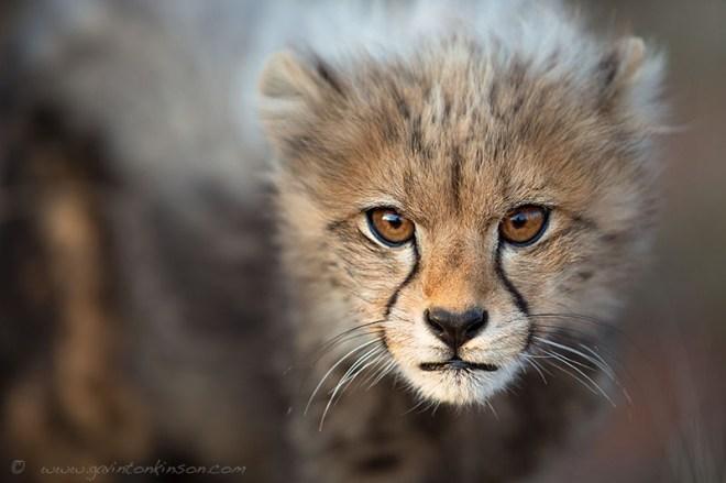 Cheetah cub ©Gavin  Tonkinson