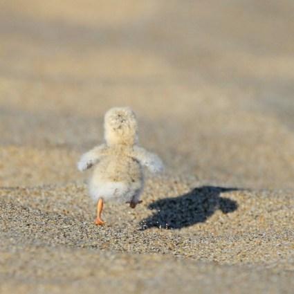 Stunning Photography – Least Tern chick – Ryan Schain