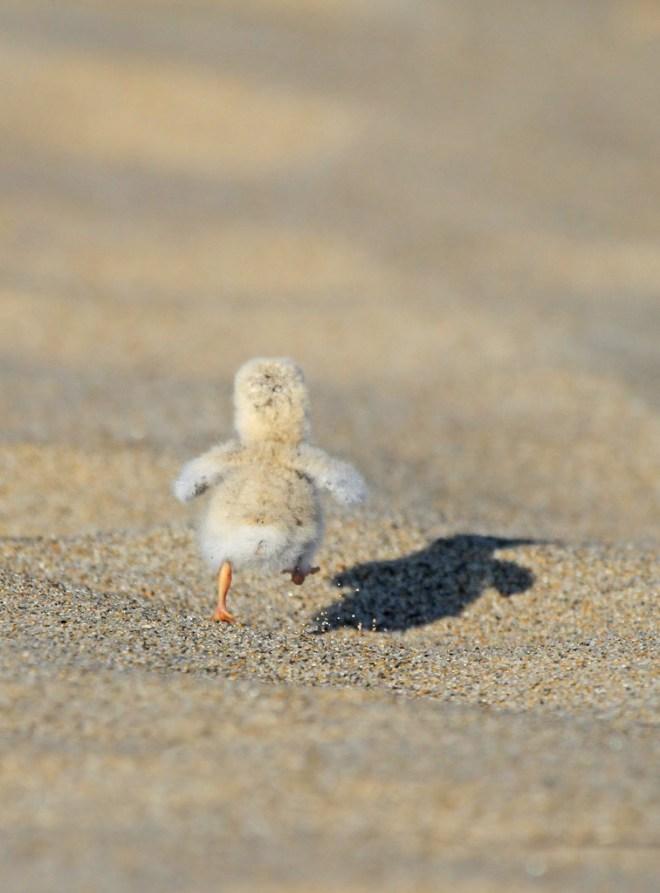 Least Tern chick - Ryan Schain