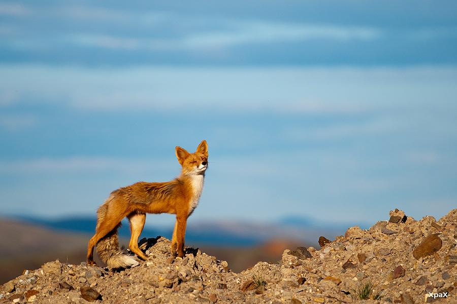 Ivan Kislov - Foxes - Fox in spring light