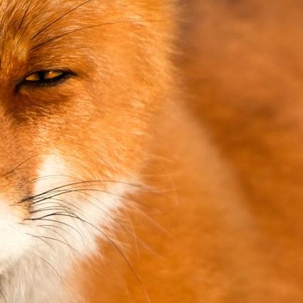 Foxes / Ivan Kislov