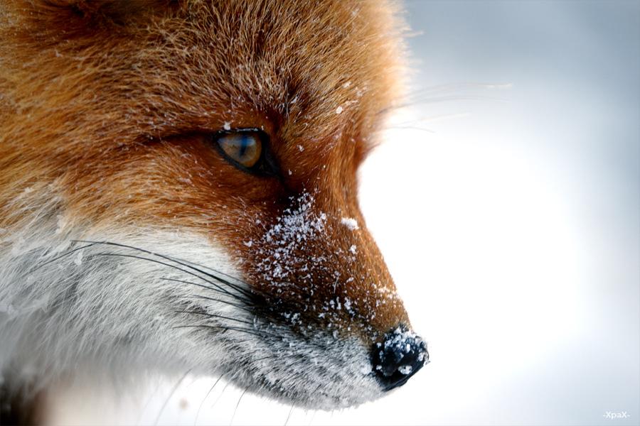 Ivan Kislov - Foxes - Portrait