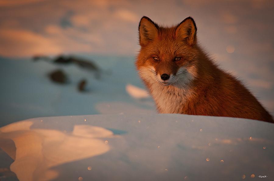 Ivan Kislov - Foxes - Sunset portrait