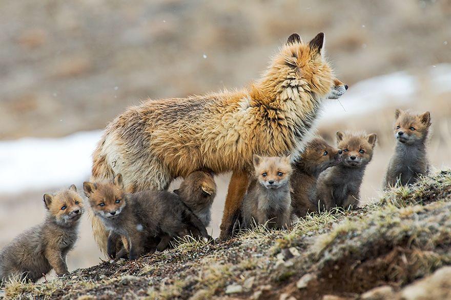 Ivan Kislov - Foxes - The family