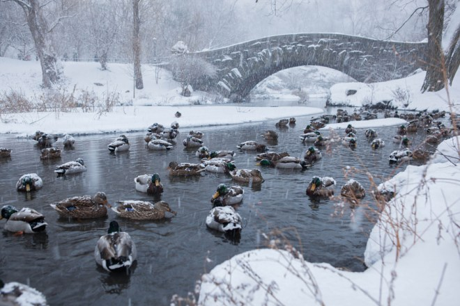 Snow Covered Ducks of Central - Anthony Quintano 0009