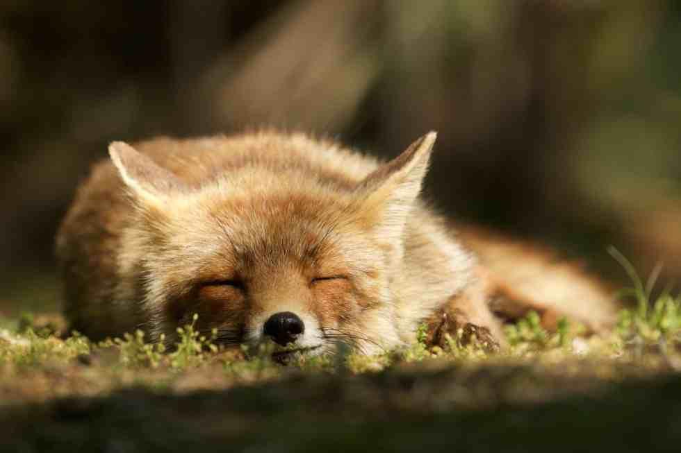 Un renard faisant de beaux rêves - Le renard des dunes - ©Laurens De Haas
