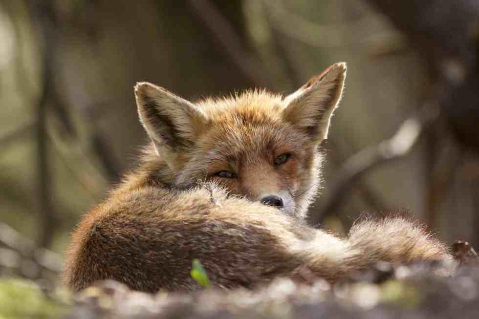 Le renard des dunes - ©Laurens De Haas