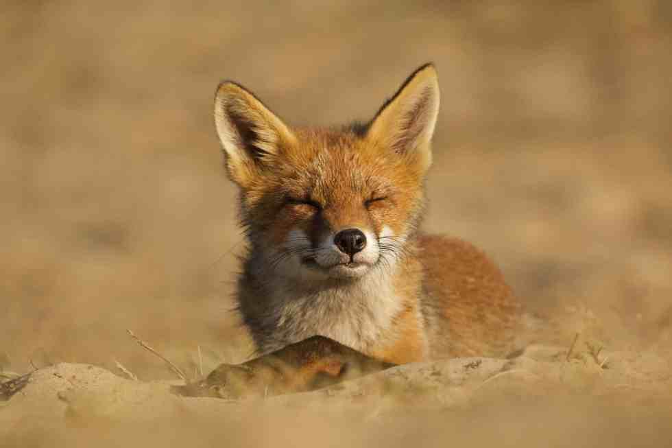 Un jeune renard appréciant le soleil couchantFox family grooming session