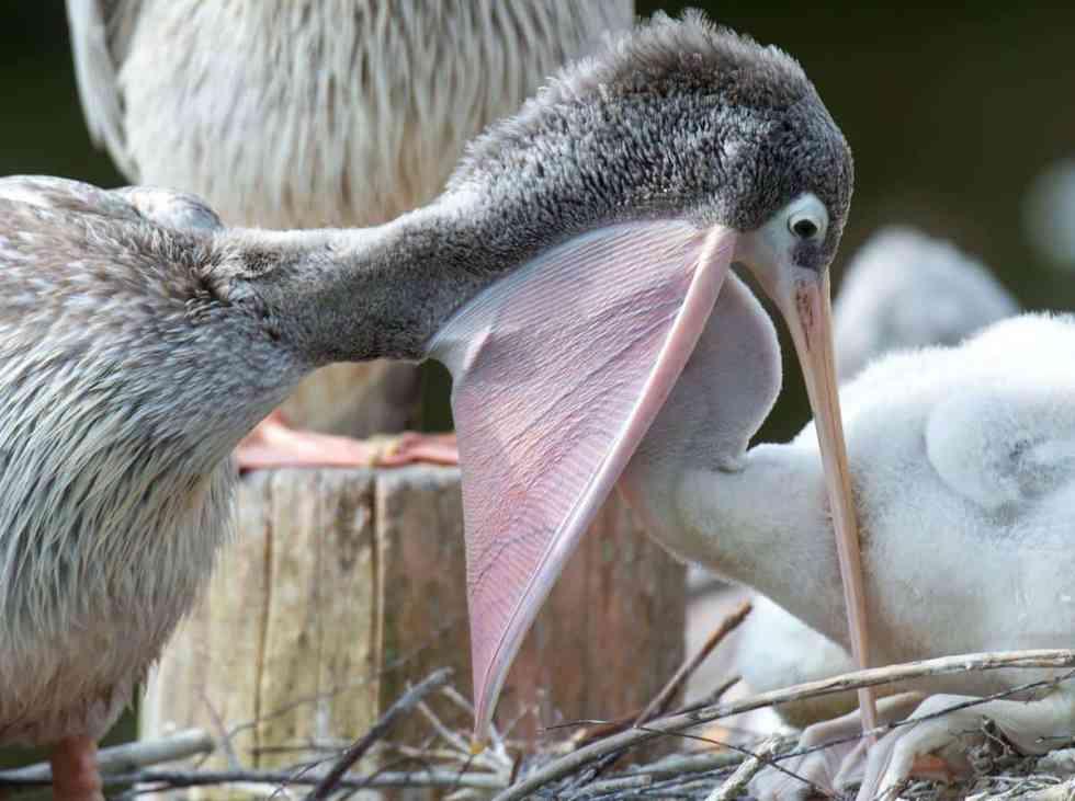 Un pélican nourrit ses petits
