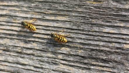 Wasps stripping wood to make their nest