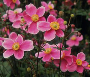Anemone_Pink_Saucer_Seeds_Anemone_Hupehensis