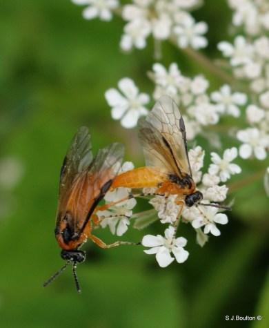 Sawflies mating