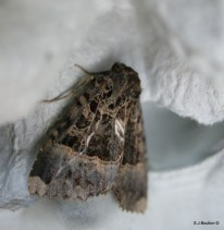 Old Lady Moth