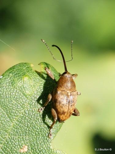 Acorn beetle