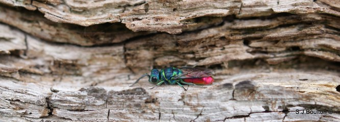Ruby tailed wasp